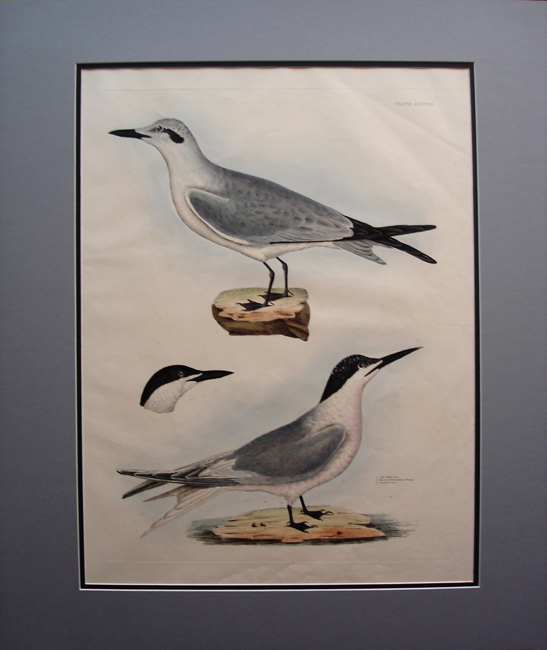 Gull Billed Tern, Sandwich Tern
