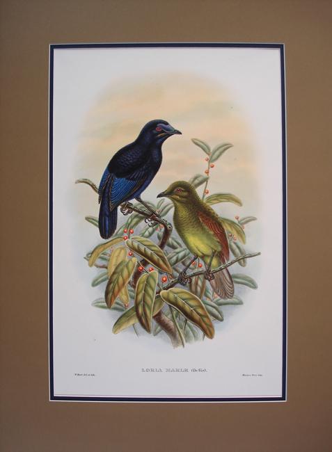 Lady MacGregors Bower Bird (Loria Mariae)