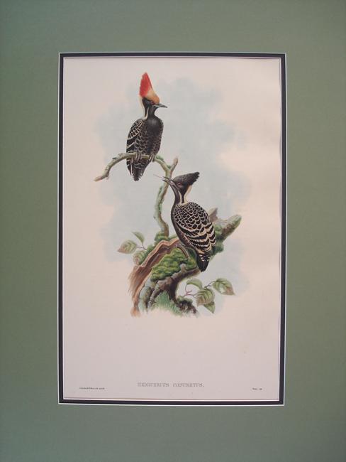 Javan Heart-Spotted Woodpecker (Hemicercus Concretus)