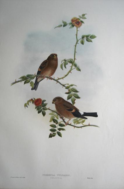 Bullfinch (Young Pyrrhula Vulgaris)