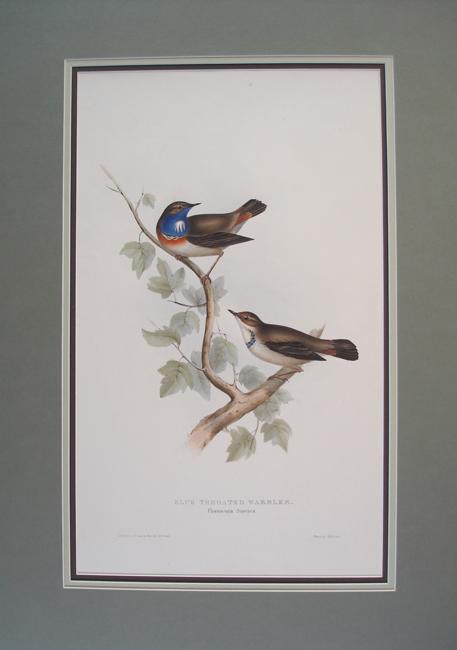 Blue Throated Warbler  (Phoenicura Suecica)