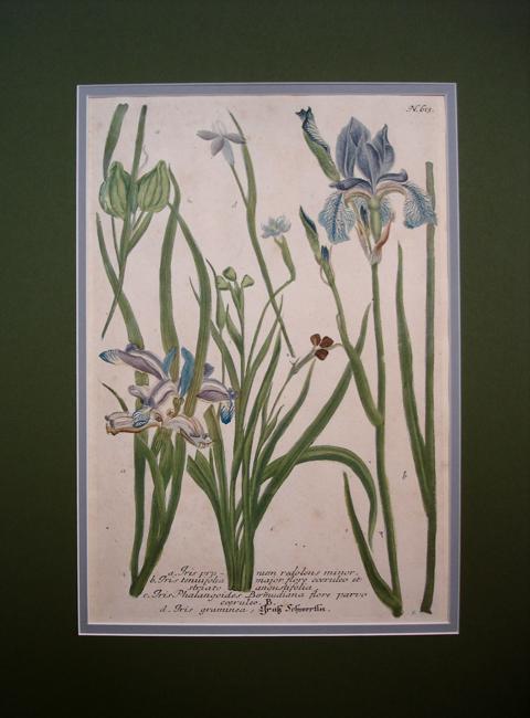 a) Iris prunum redolens minor, b) Iris tenuifolia major flore coeruleo et striato angustifolia, c) Iris Phalangoides Bermudiana flore parvo coeruleo, d) Iris graminea