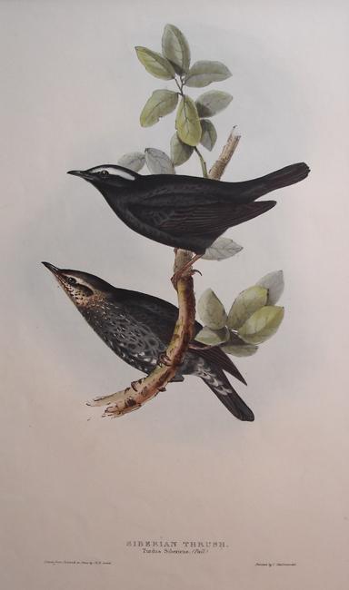 Siberian Thrush