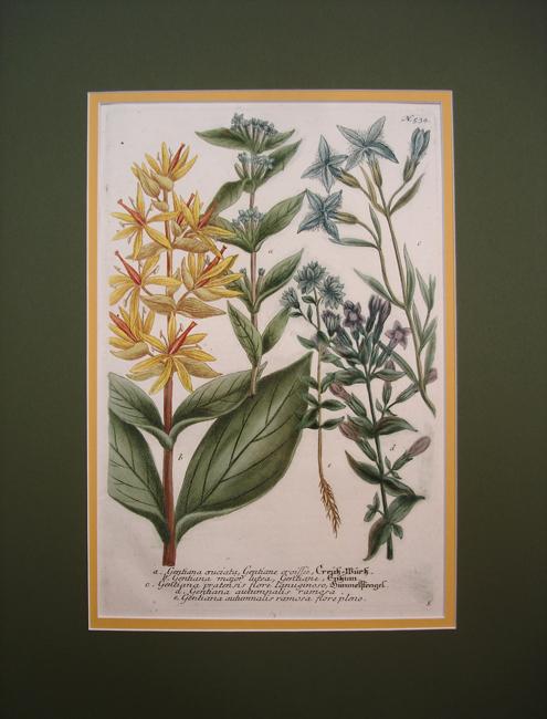 a) Gentiana cruciata, Gentiane croissee, b) Gentiana major lutea, Gentiane, c) Gentiana pratensis flore lanuginosa, d) Gentiana autumnalis ramosa, e) Gentiana autumnalis ramosa flore pleno