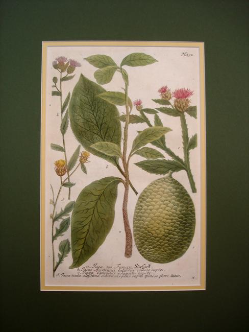a) Iaca seu Fanax, b) Iacea Austriaca latifolia villoso capite, c) Iacea Cynoides echinato capite, d) Iacea sicula altissuna cichoraceis foliis capite Spinoso flore luteo