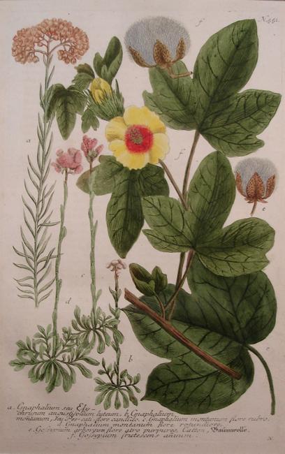 a) Gnaphalium seu Ely chrysum angustifolium luteum, b) Gnaphalium montanum, seu Pescati flore candido, c) Gnaphalium montanum flore rubro, d) Gnaphalium montanum flore rotundiore, e) Gossypium arboreum flore atro purpureo, Catton, f) Gossypium frutescens