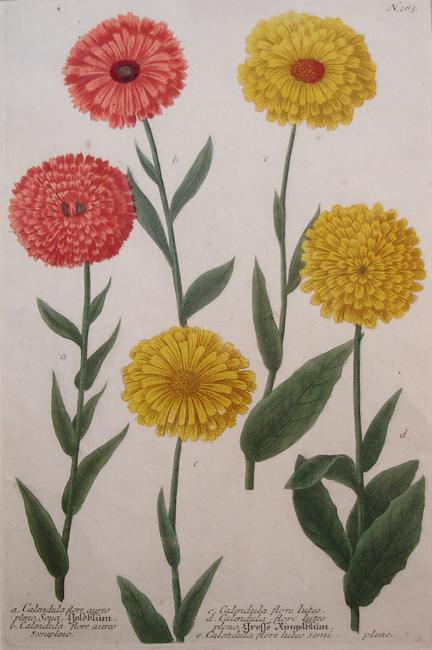 a) Calendula flore aureo pleno Souci, b) Calendula flore aureo semupleno, c) Calendula flore luteo, d) Calendula flore luteo pleno, e) Calendula flore luteo semi-pleno
