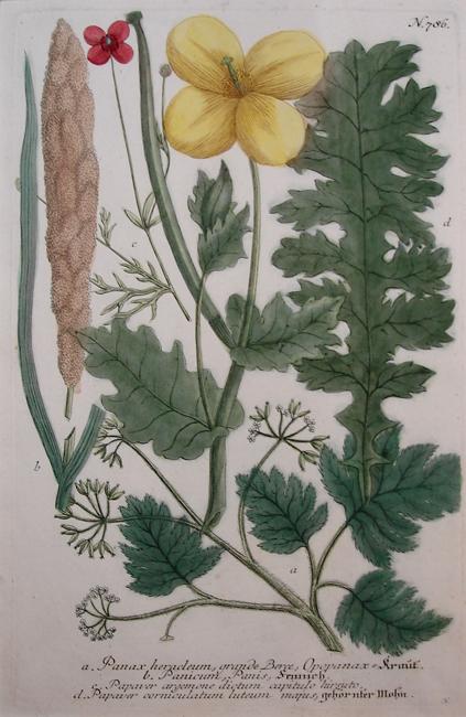 a) Panax heracleum, grande Berce, Opopanax, b) Panicum, Panis, c) Papaver argemone dictum capitulo hirsuto, d) Papaver corniculatum luteum majus