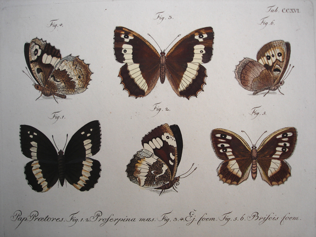 Pap Proetores, (1 & 2) Proserpina Mas, (3 & 4) Ej Foem,  (5 & 6) Briscis Foem