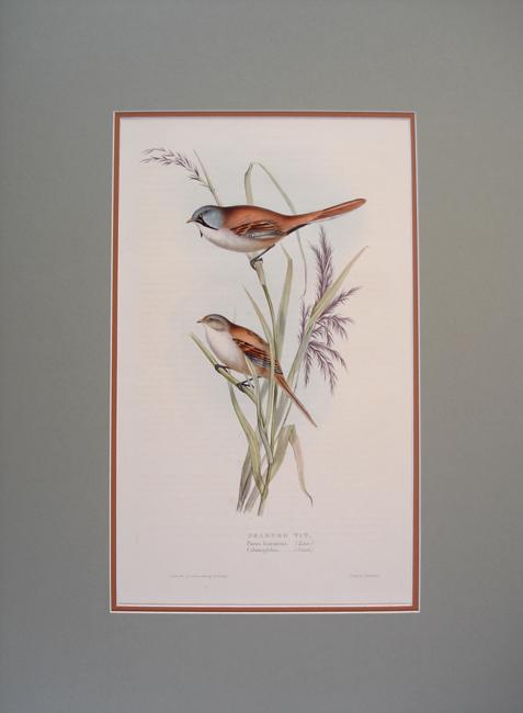 Bearded Tit or Reed Bird