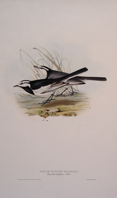 White-winged Wagtail
