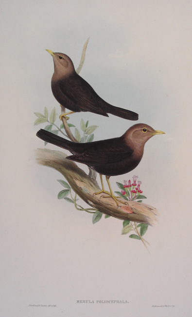 Merula Poliocephala (Grey Headed Blackbird)