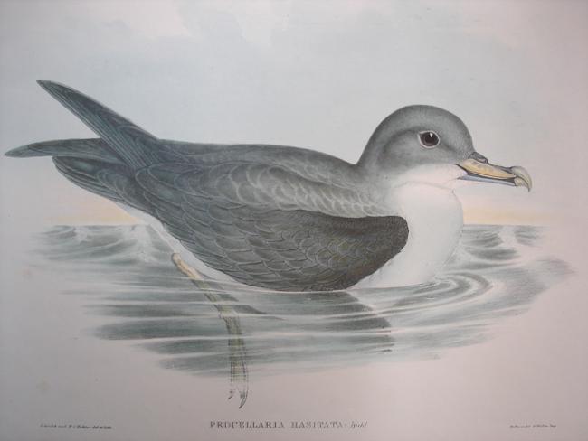 Procellaria Hasitata (Great Grey Petrel)