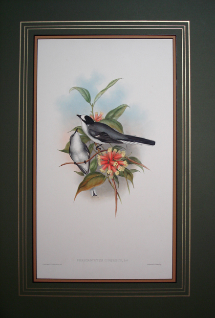 Grey Pericrocotus (Pericrocotus Cinereus)