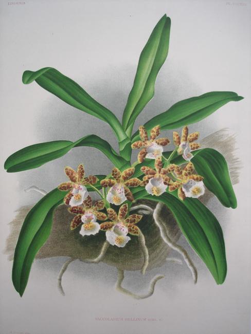 The Pretty Saccolabium (Saccolabium Bellinum)