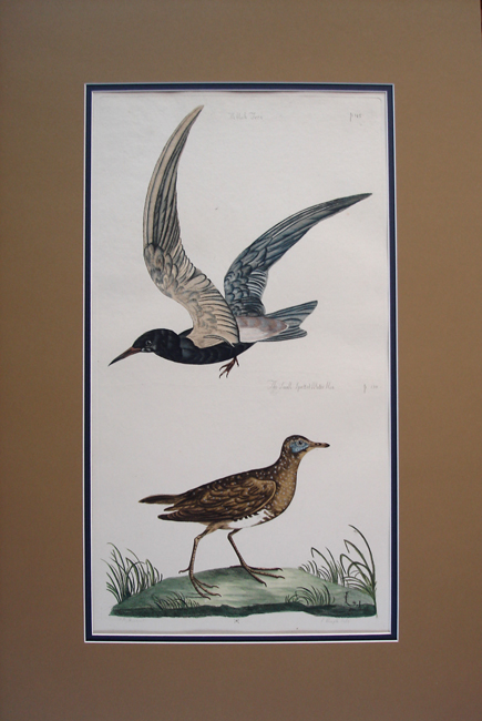 The Black Tern and The Small Spotted Water Hen
