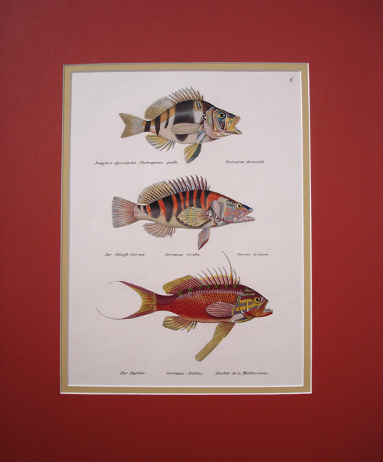 1) Plactropoma Puella, 2) Serranus Scriba, 3) Serranus Anthias