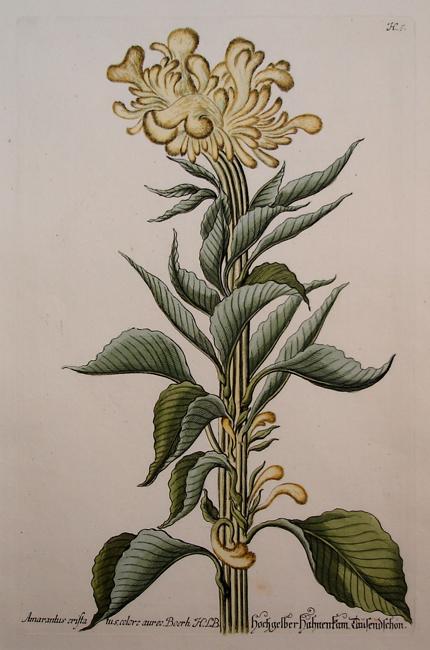 Amarantus Cristatus Colore Aureo Boerh