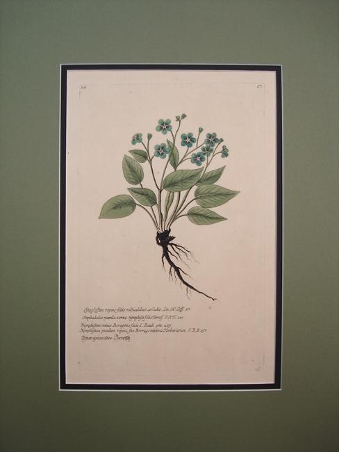 Cynoglossum Repens Foliis