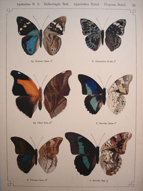 Apaturina, Dichorragia, Aganisthos, Prepona