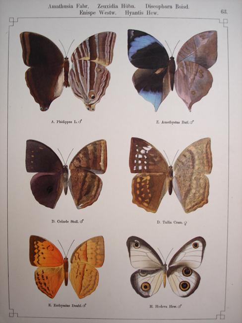 Amathusia, Zeuxidia, Discophora, Enispe, Hyantis