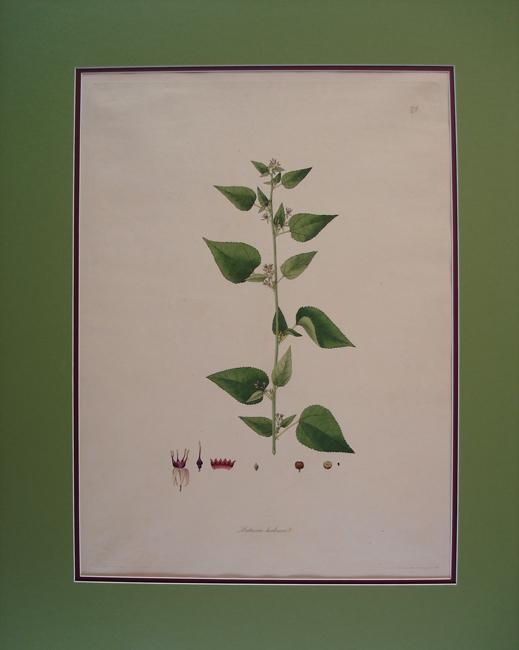 Buttneria Herbacea