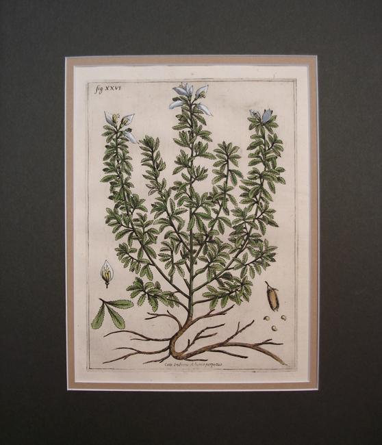 Cece Indiano Arborea Perpetuo