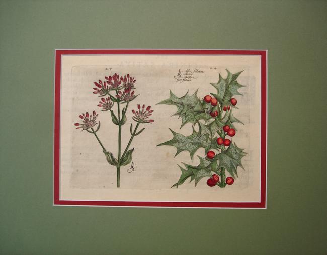 Agri Folium (Common Holly)