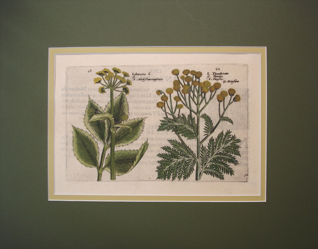 Libanotis (Common Mooncarrot) Tanacetum (Common Tansy)