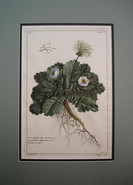 Caryophylloeta Alpina Lutea