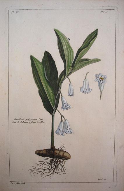 Convallaria Poligonatum