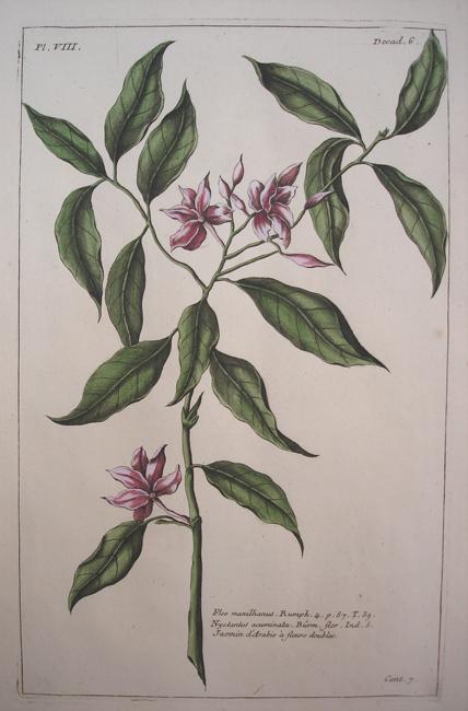 Nyctantes Acuminata burm (Jasmin)