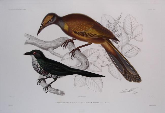 1) Tropidorhynque Subcornu, Male, 2) Stourne Bronze, Female