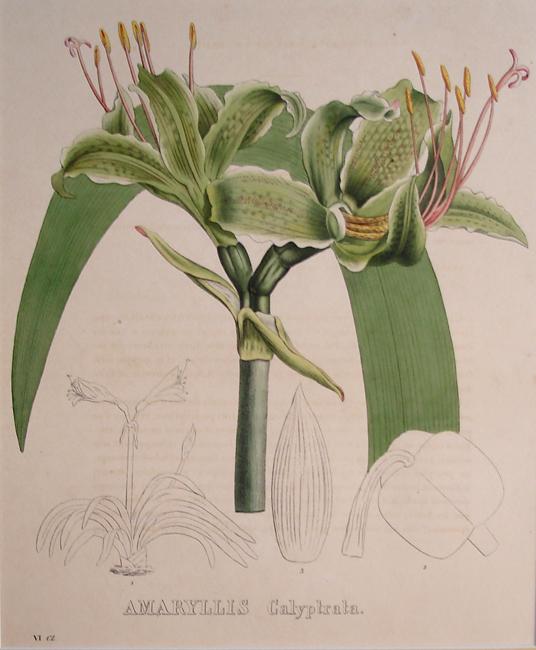 Amaryllis Calyptrata