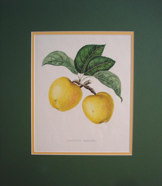 Reinette Franche (Apple)