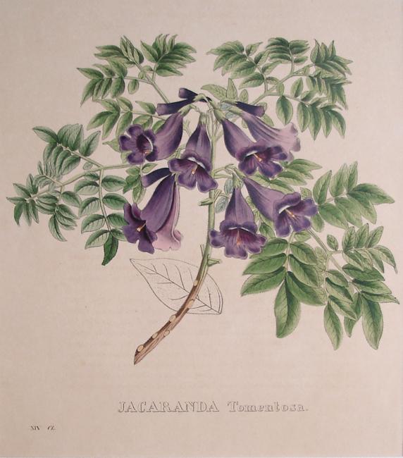 Jacaranda Tomentosa