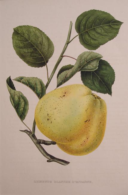 Reinette Blanche D'espagne (Apple)