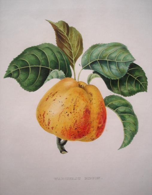 """Bivort, Alexandre (1809-1872) """"Wadhurst Pippin"""" (Apple)"""