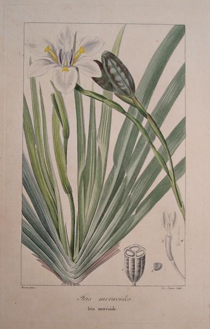 Iris Moroedides