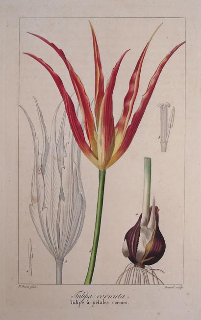 Tulipa Cornuta