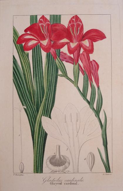 Gladiolus Cardinalis
