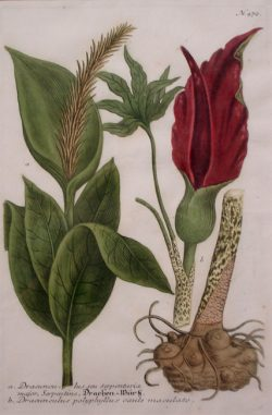 "Weinmann, Johann Wilhelm (1683-1741)  ""(a) Dracunculus Seu Serpentaria Major, Serpentine (Arum Lily) (b) Dracunculus Polyphyllus Caule Maculato"""