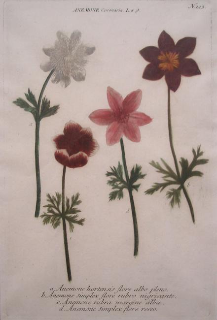 "Weinmann, Johann Wilhelm (1683-1741)  ""(a) Anemone Hortensis Flore Albo Pleno, (b) Anemone Simplex Flore Rubro Nigricante, (c) Anemone Rubra Margine Alba, (d) Anemone Simplex Flore Roseo"""