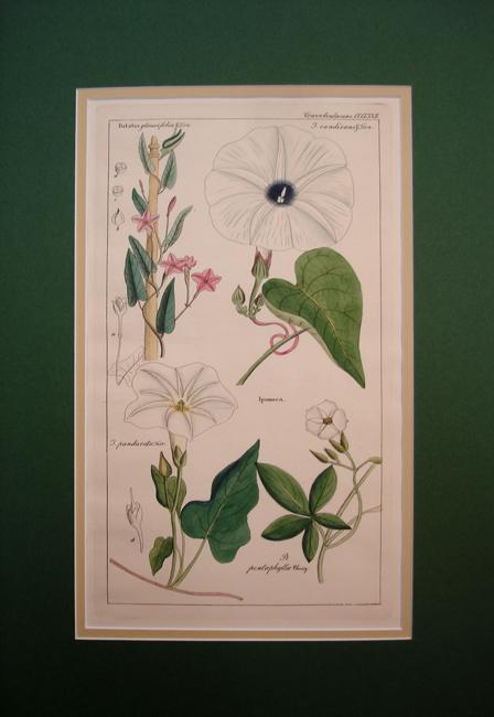 Convolvulaceae (Ipomoea Batatas)