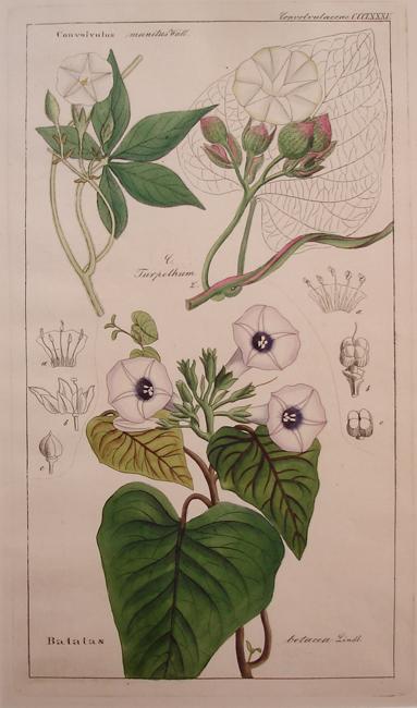 Convolvulaceae (Batates)