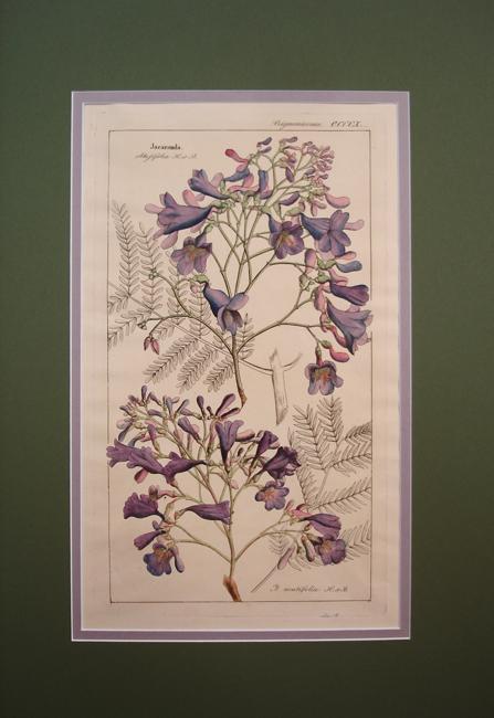 Bignoniaceae (Jacaranda)