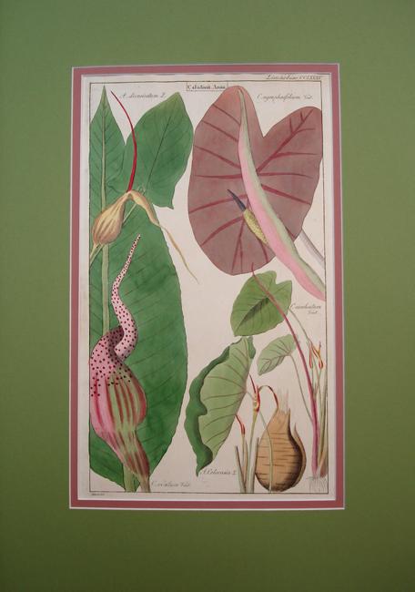 Limnobiae (Caladium Arum)
