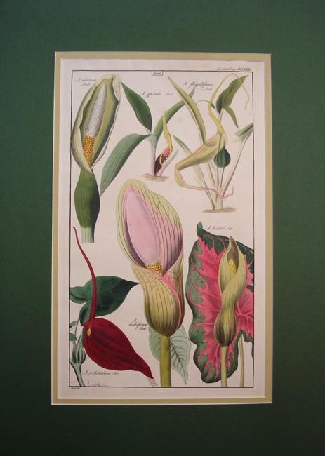Limnobiae (Arum)