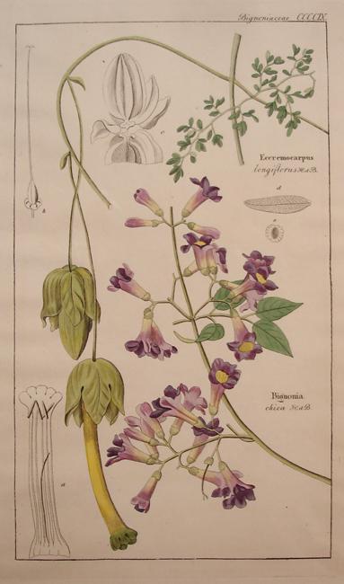 Bignoniaceae (Bignonia)