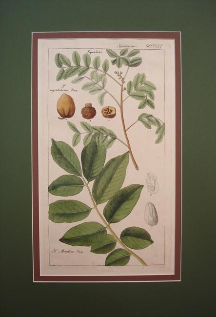 Spondiaceae (Spondias)